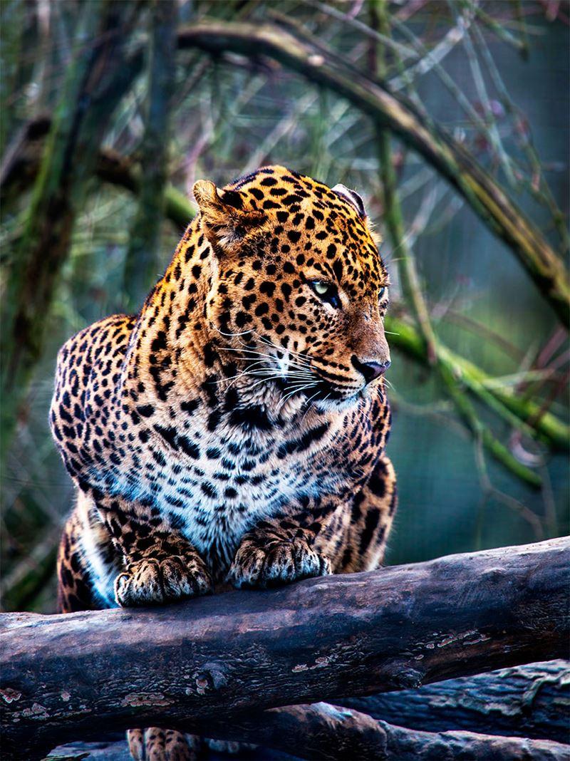 Onça Pintada, o maior felino das Américas