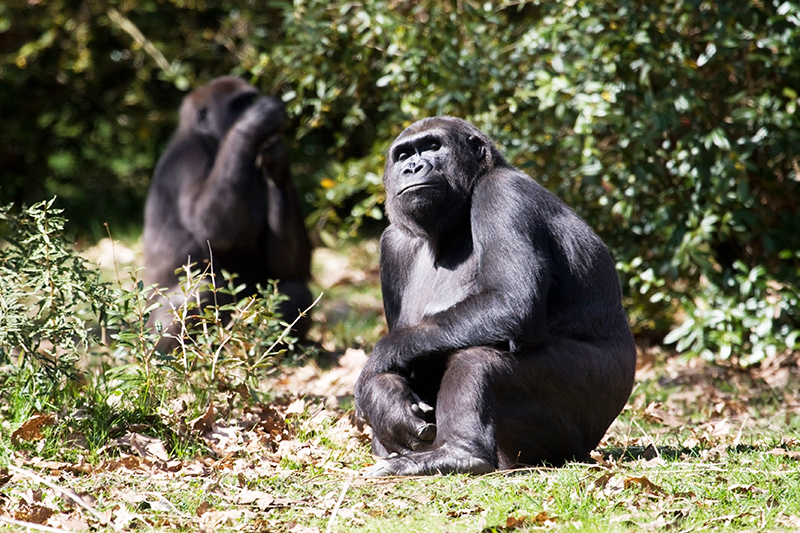 1-gorilas-de-ruanda
