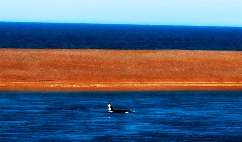 Baleia Orca na Península Valdés