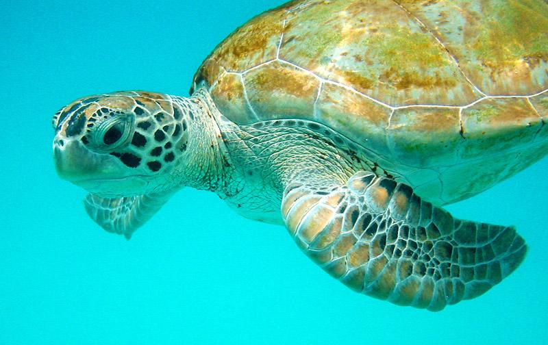 3-tartarugaembarbados