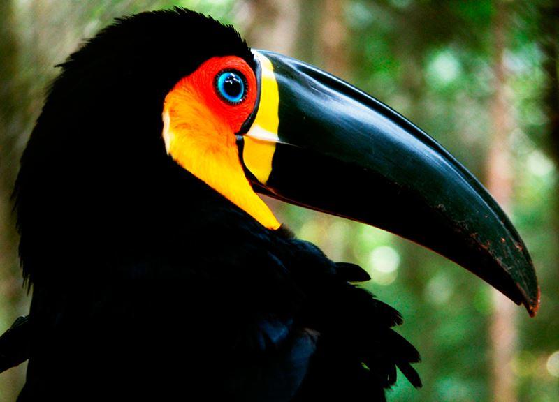 Tucano, um dos maravilhosos animais da fauna brasileira