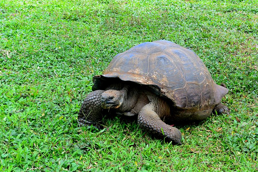 1-tartaruga-gigante-galapagos