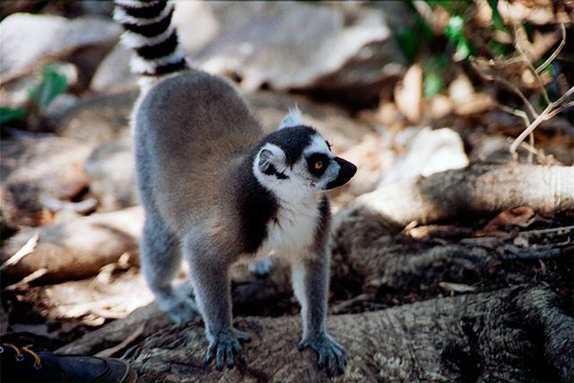 1-lemure