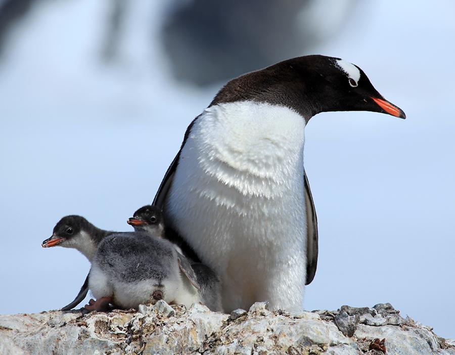 2-antartica-pinguim