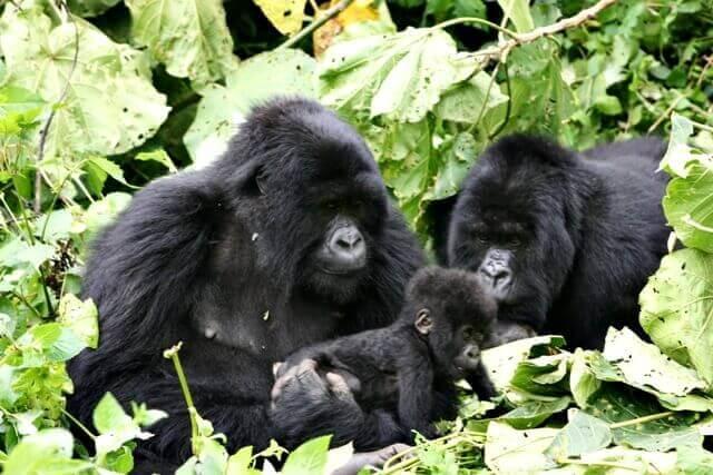 1-gorilas
