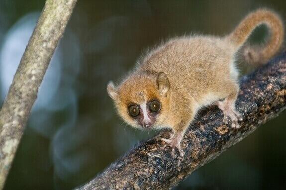 4-rato-lemuriano