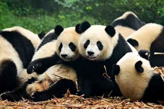 1-pandas-chengdu