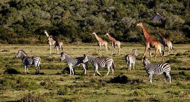 2-girafas