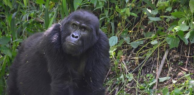 1-gorila-das-montanhas