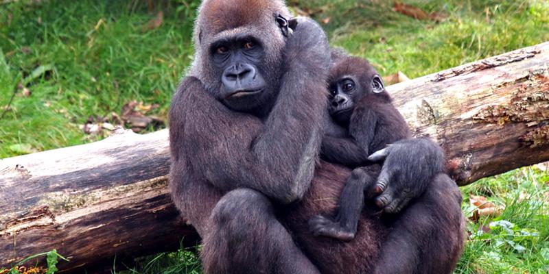 Refugio dos gorilas, na espetacular Uganda