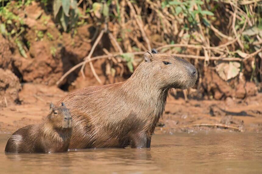 capybaras-on-a-river