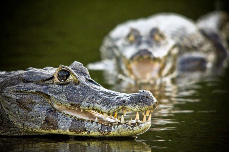 Jacarés no Pantanal
