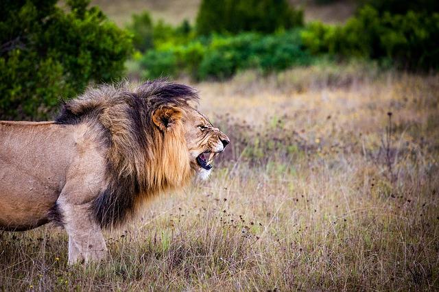 lion-1605295_640