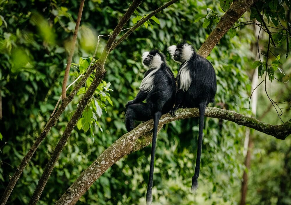 nyungwe-house-ruandaes_colobus_monkey_trek-credito-oneonly