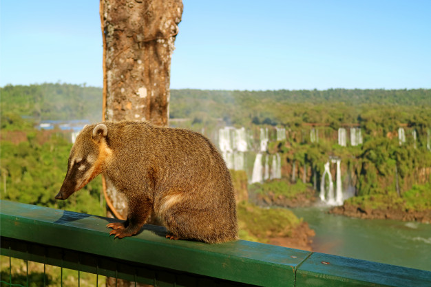 criaturas-do-tipo-guaxinim-chamadas-quati-encontradas-no-parque-nacional-das-cataratas-do-iguacu-brasil_76000-2734