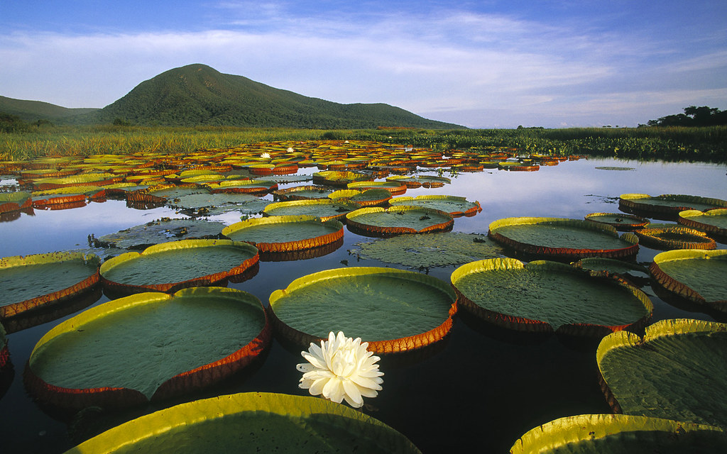 victoria-regia-water-lily-and-lily-pads