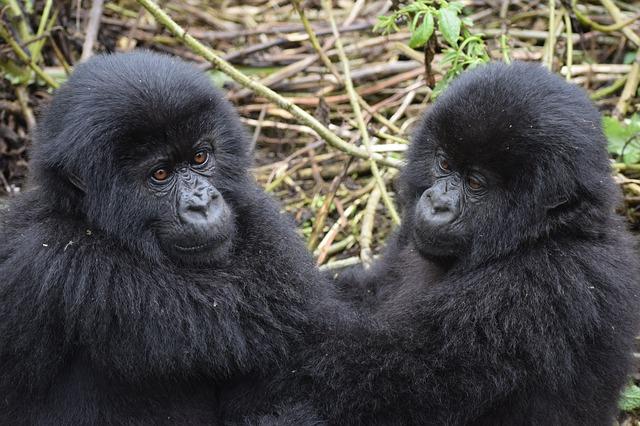 mountain-gorilla-3560377_640