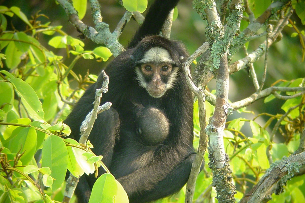 cristalino-lodge-white-whiskered-spider-monkey-ateles-marginatus-will-carter-min