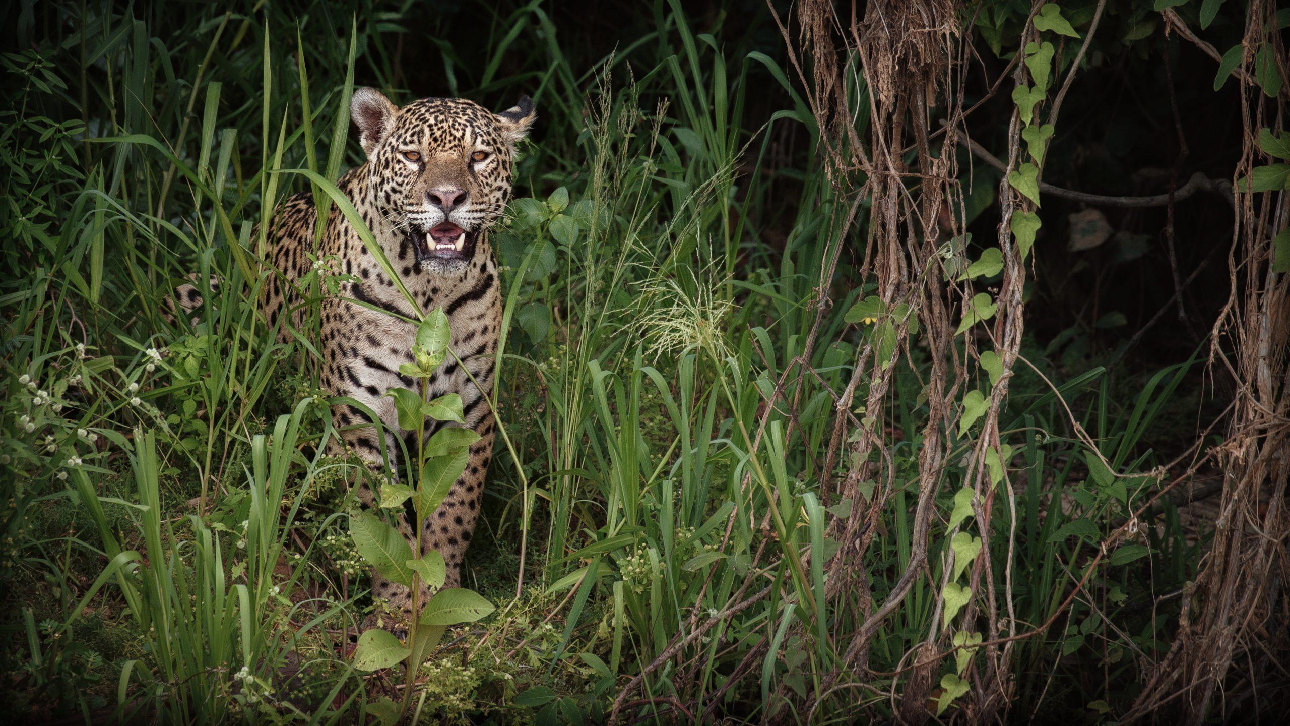 american-jaguar-female-in-the-nature-habitat-panthera-onca-wild-brasil-brasilian-wildlife-pantanal-green-jungle-big-cats