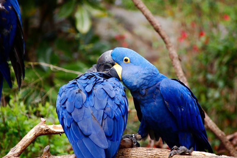 Arara-azul, um dos animais típicos da fauna brasileira