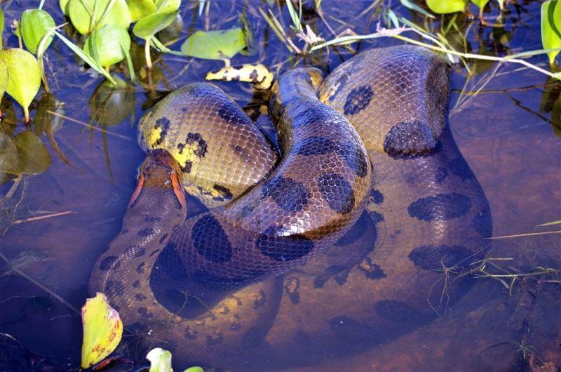 Sucuri, um dos animais típicos da fauna brasileira
