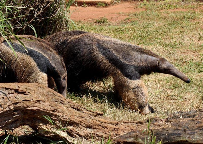 Tamanduá-bandeira, um dos animais típicos da fauna brasileira