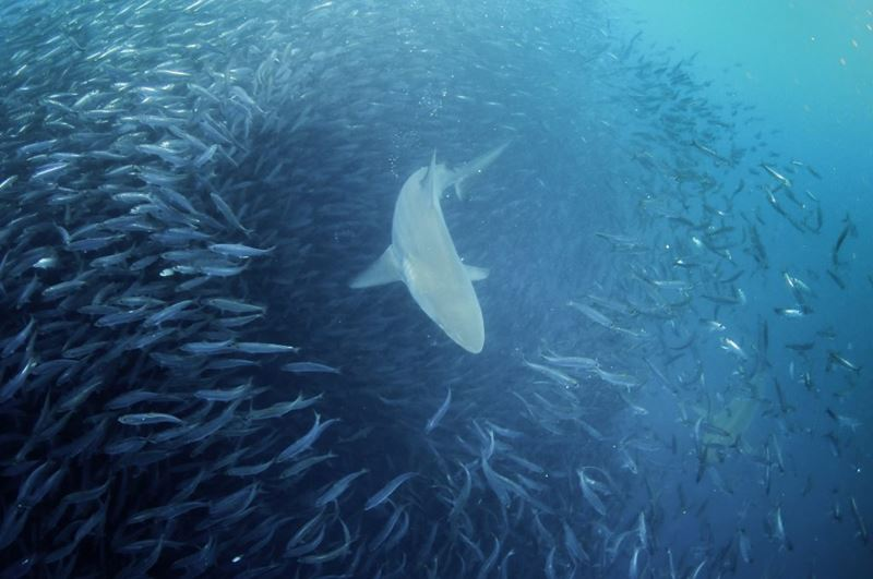 Sardine Run, evento marinho imperdível