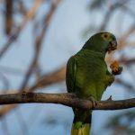 Serra do Amolar Pantanal - Aves